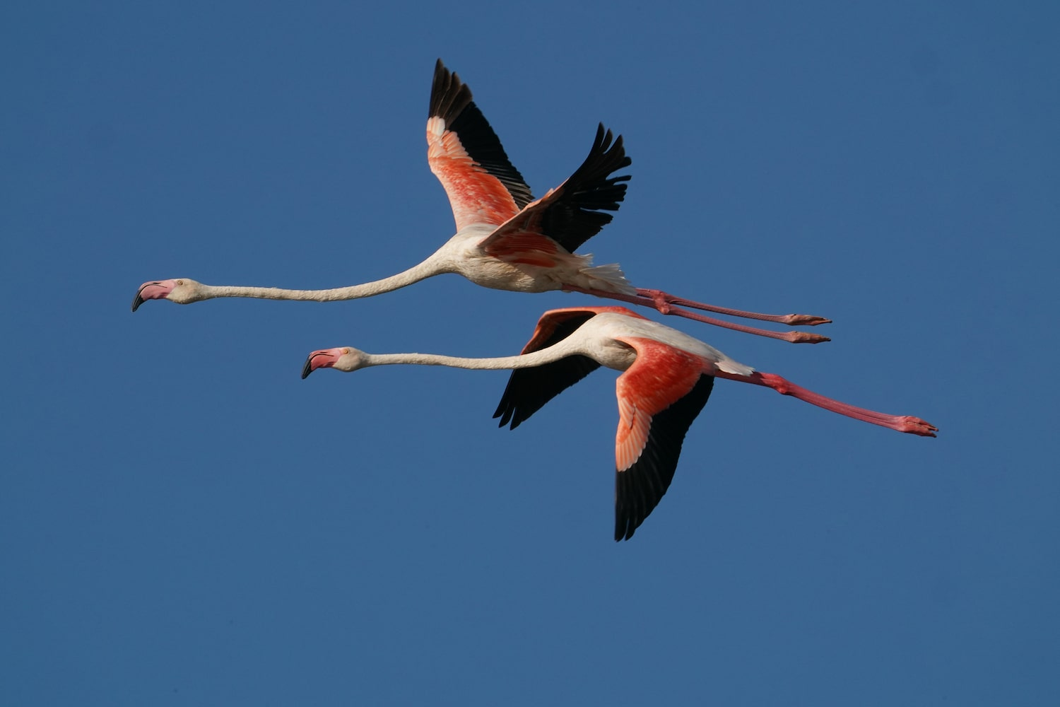 two-flamingos-in-flight-alpha-7III