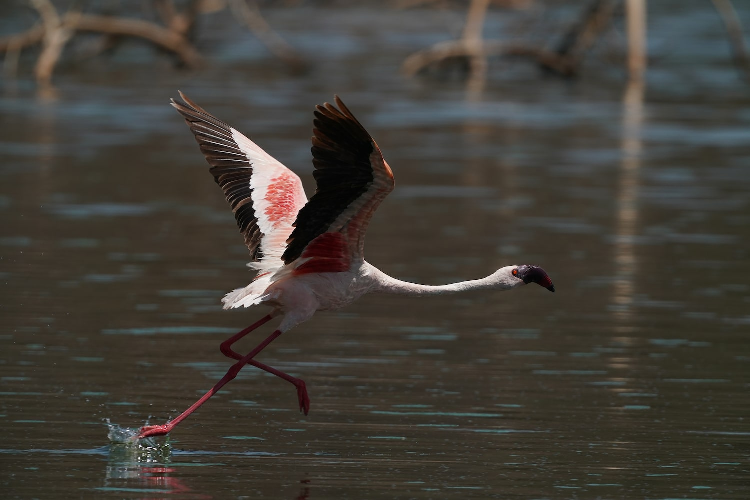 flamingo-landing-across-lake-alpha-7III