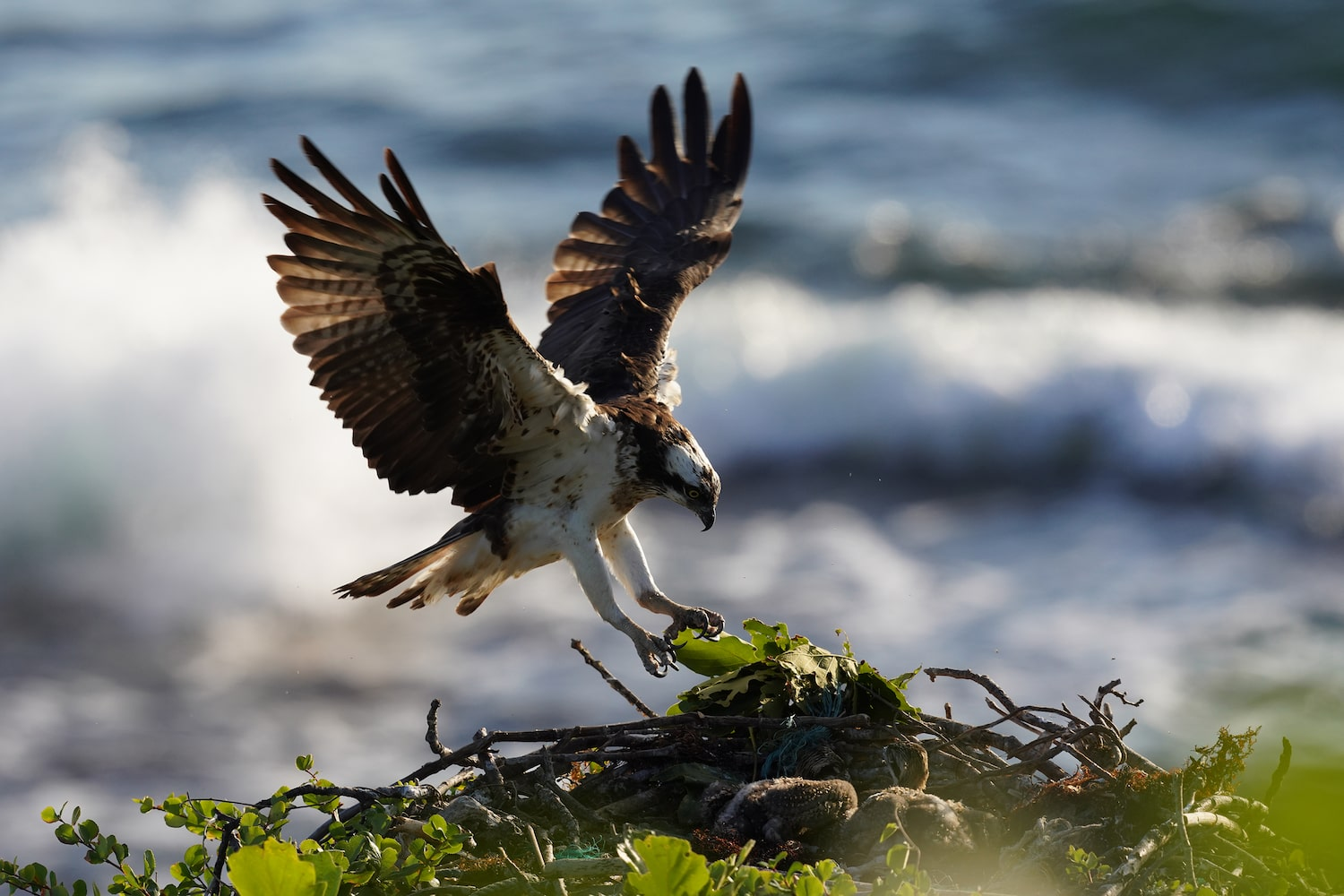 hawk-in-action-against-ocean-waves-alpha-7RIV