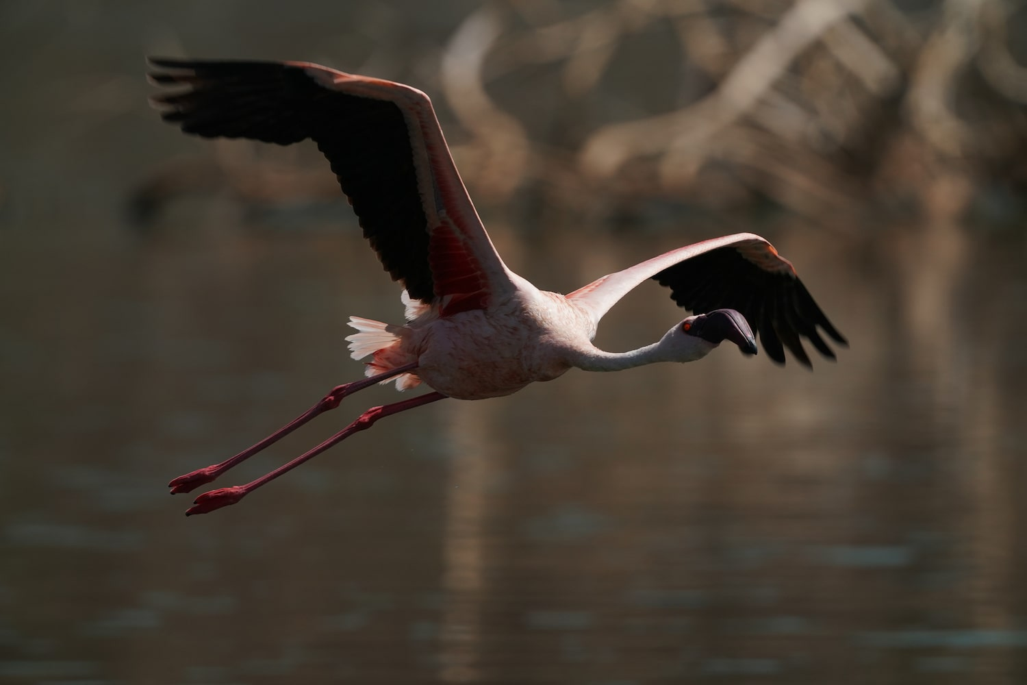 flamingo-in-flight-across-lake-alpha-7III