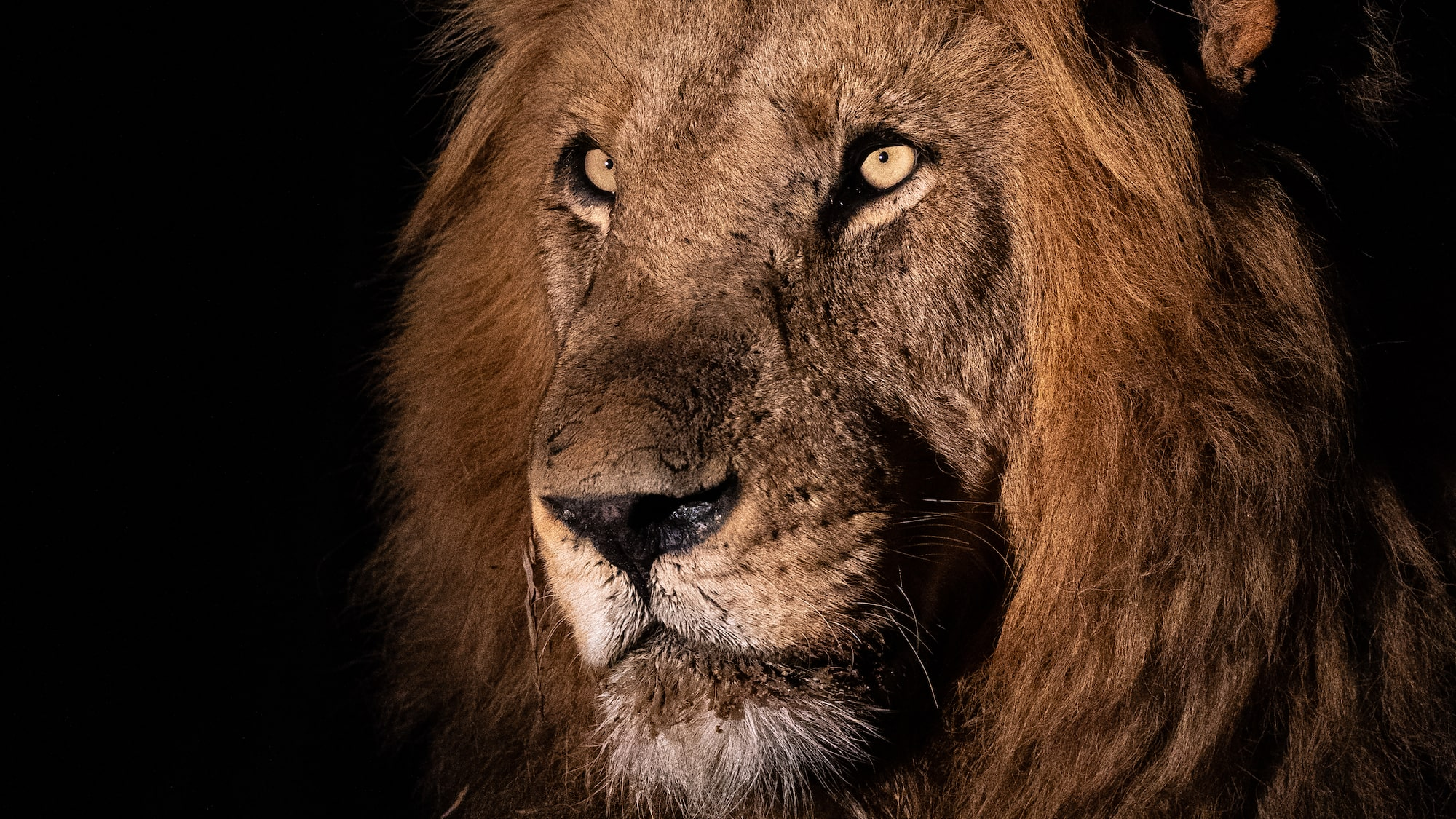 Male lion in the safari at night