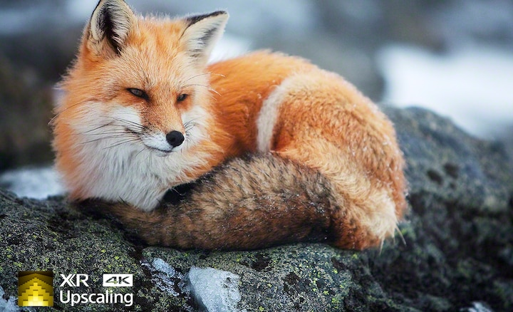 Image of fox showing 4K clarity