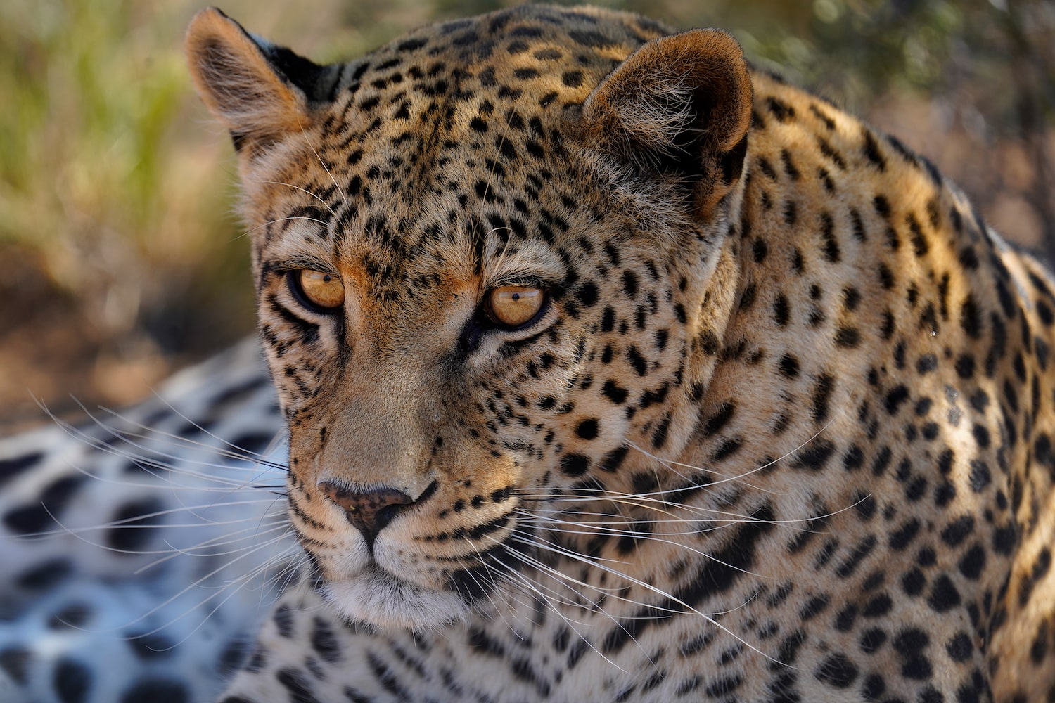 close-up-portrait-leopard-yellow-eyes-alpha-7RIV