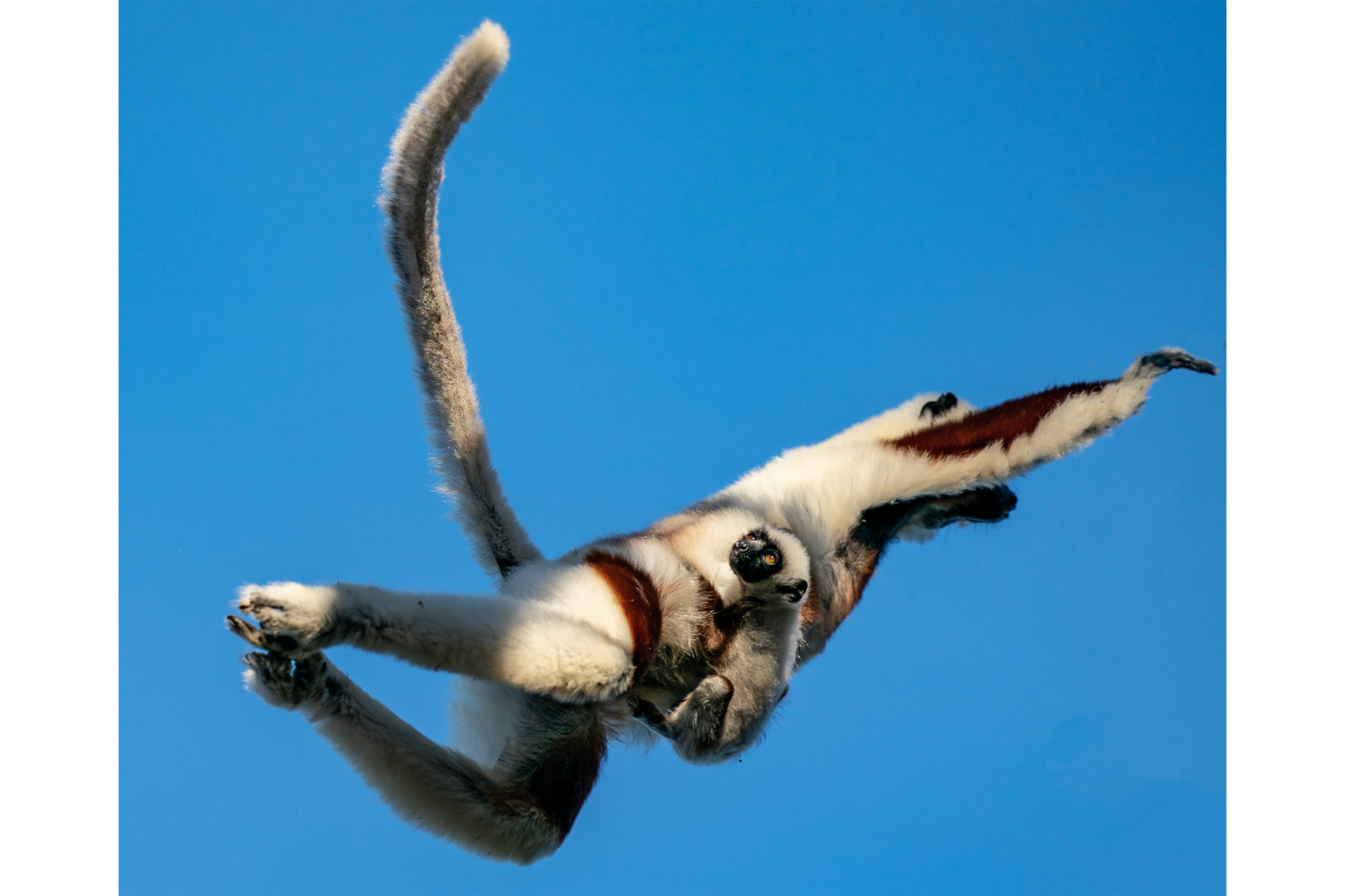 Flying Sifaka