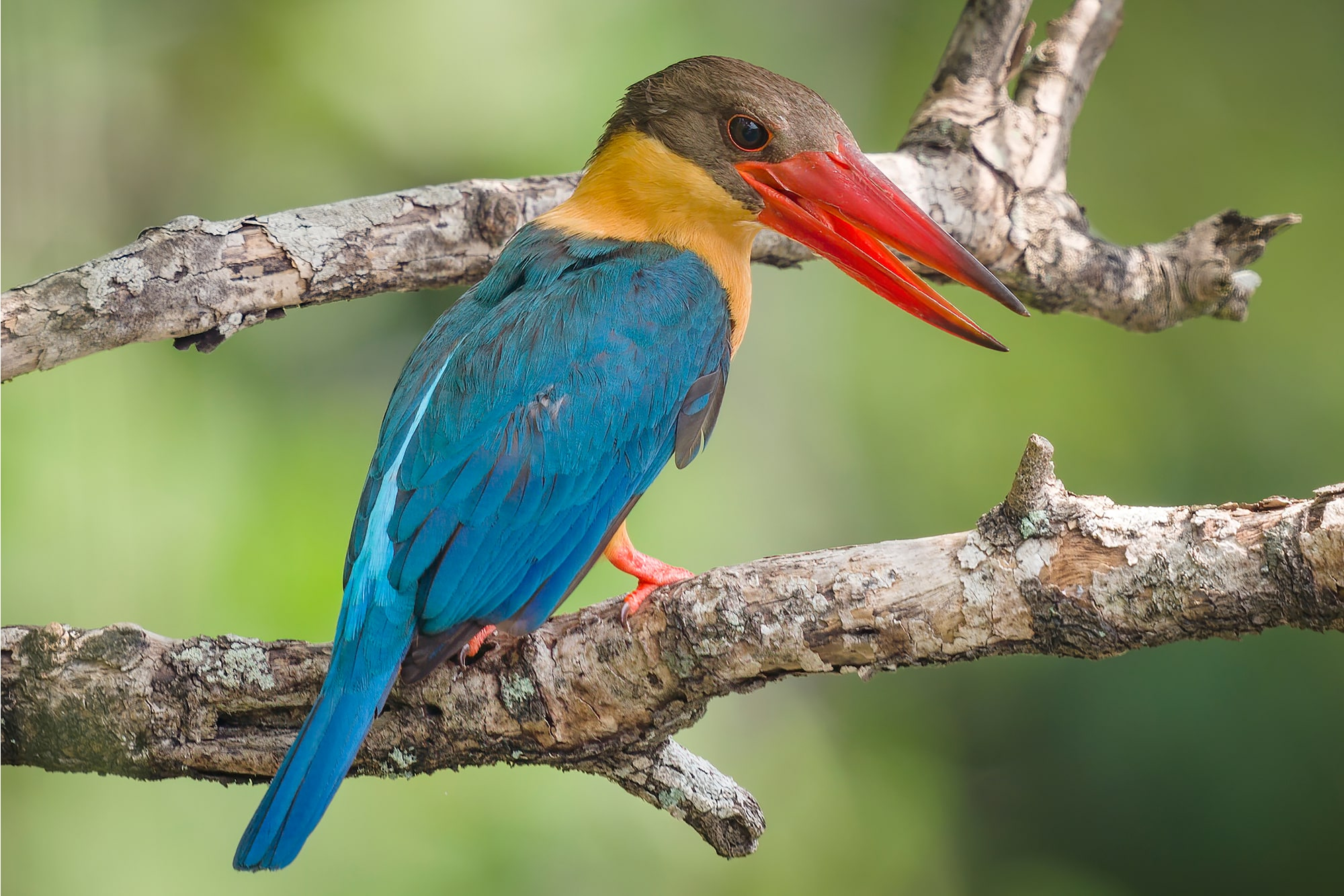 Sony Alpha 7R IV's 61 megapixels retain high resolution even after approx. 2x crop of Stork-Billed Kingfisher on branch.