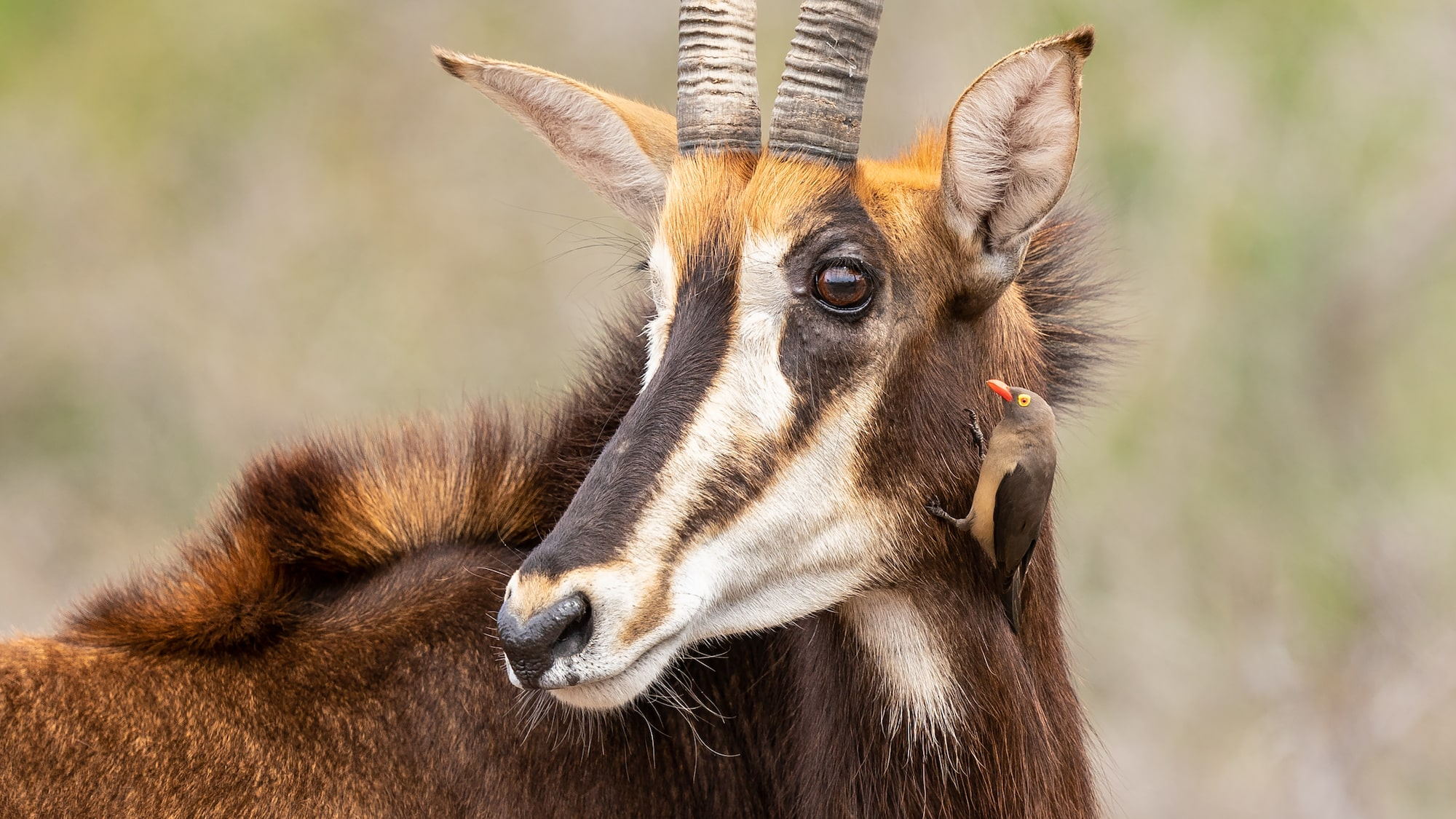 Sable antelope in the safari