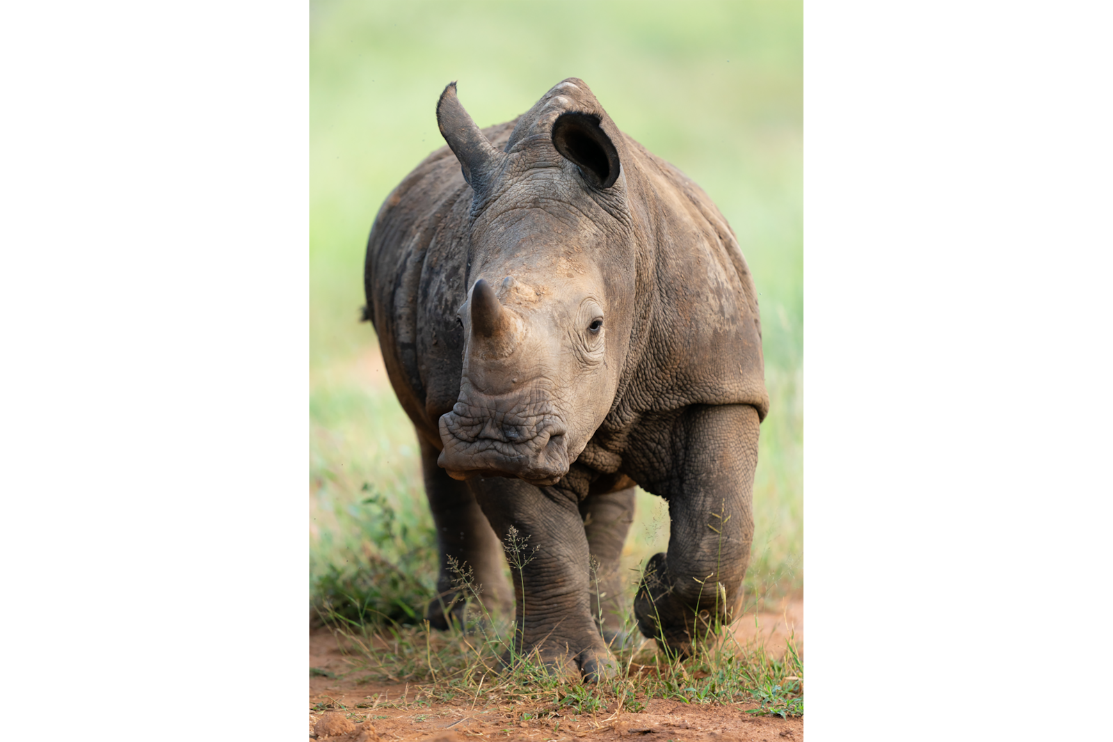 Baby Rhino on the Move